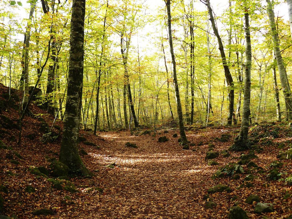 Beech Forest, Spain