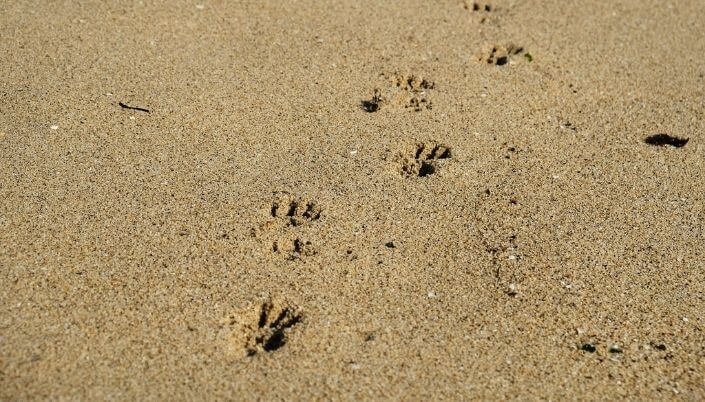 hominoid footprints