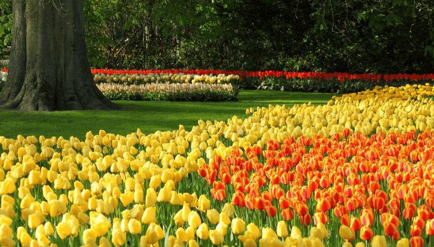 Lisse tulip garden