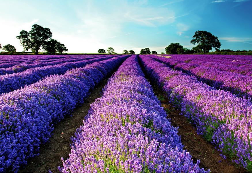 provence_lavender