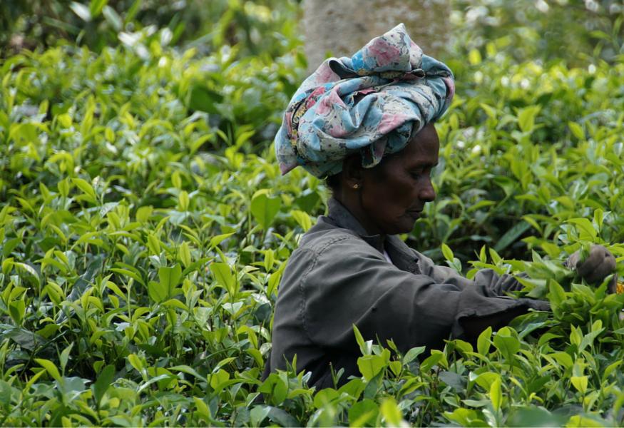 tea gathering in sri lanka